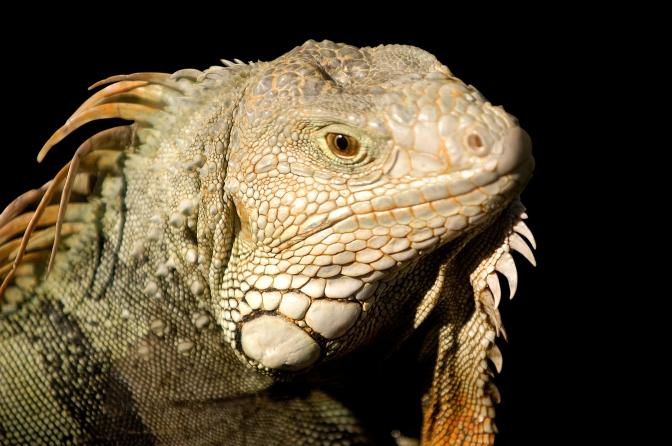 Iguana by Memoossa